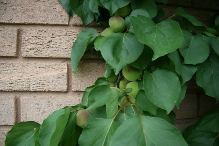 ripeningapricotssm